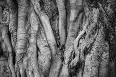Großer bothi Baum für Hintergrund Stockfotografie