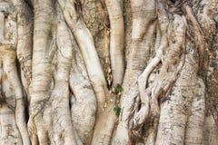Großer bothi Baum für Hintergrund Stockfoto