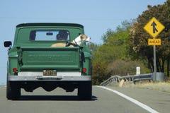 Großer Boxerhund reitet zurück in den alten grünen Kleintransporter Chevrolet Lizenzfreies Stockfoto