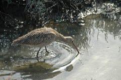 Großer Brachvogel Stockfoto