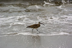 Großer Brachvogel auf Strand Stockfotografie
