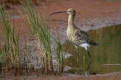 Großer Brachvogel - Numenius arquata Lizenzfreie Stockfotos