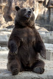 Großer Braunbär. Lizenzfreie Stockfotografie