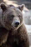 Großer Braunbär. Lizenzfreie Stockbilder