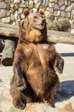 Großer Braunbär. Lizenzfreies Stockfoto