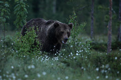 Großer Braunbär, der in finnischen Sumpf geht Stockfotografie