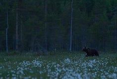 Großer Braunbär, der in finnisches taiga geht Lizenzfreie Stockfotos