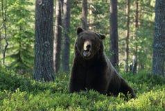 Großer Braunbär, der im finnischen wilden Wald brüllt Lizenzfreies Stockfoto