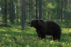 Großer Braunbär, der im finnischen wilden Wald brüllt Lizenzfreies Stockbild