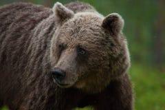 Großer Braunbär, der im Wald anstarrt Lizenzfreie Stockfotos