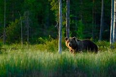 Großer Braunbär, der morgens um Sonne des Sees geht Gefährliches Tier in der Szene der Waldwild lebenden tiere von Europa Brown-V Lizenzfreie Stockfotografie