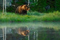 Großer Braunbär, der morgens um Sonne des Sees geht Gefährliches Tier in der Szene der Waldwild lebenden tiere von Europa Brown-V Stockfotografie
