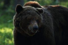 Großer Braunbär in finnischem wildem taiga Wald Lizenzfreie Stockfotos
