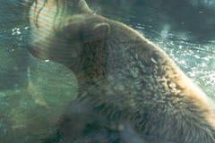 Großer Braunbär im poolr - Tier, lebender Organismus, Säugetiere stockbilder