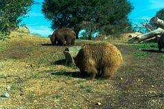 Großer Braunbär - Tier, lebender Organismus, Säugetiere lizenzfreie stockbilder