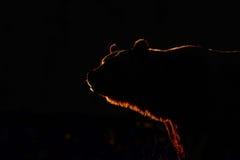 Großer brauner Bär innen gegen Leuchte Lizenzfreie Stockfotos