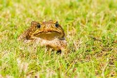 Großer brauner Frosch Lizenzfreies Stockbild