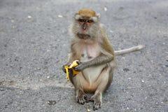 Großer Brown-Affe hält eine gelbe Banane in seiner Hand Lizenzfreie Stockfotografie