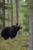 Großer Brown-Bär im Wald Stockbild