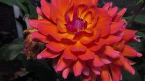 Großer Burgunder mit den empfindlichen Blumenblättern einer Dahlie, die im Garten wächst stock video