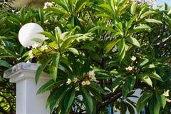 Großer Busch des tropischen blühenden Plumeria stockfotos