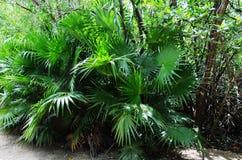 Großer Busch des zwergartigen Palmetto - Mexiko lizenzfreie stockfotos
