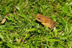 Großer Cane Toad auf hawaiischer Insel Lizenzfreie Stockbilder
