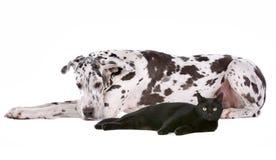 Großer Däne und eine schwarze Katze Stockbild