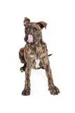 Großer Dane Crossbreed Puppy Licking Lips Lizenzfreie Stockfotografie