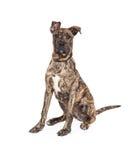 Großer Dane Mixed Breed Puppy Sitting Lizenzfreie Stockfotografie