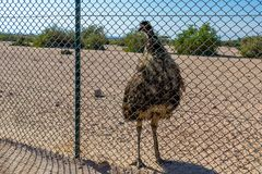 Großer Dromaius novaehollandiae Emuvogel im Safari-Park, der für Touristen aufwirft stockfotos