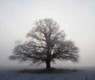 Großer Eichenbaum Lizenzfreies Stockbild