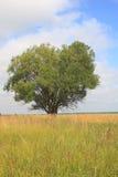 Großer einzelner Baum Lizenzfreies Stockfoto