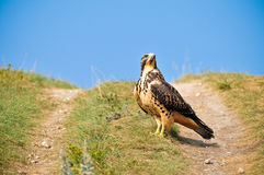 Großer eisenhaltiger Falke Stockbilder