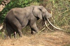 Großer Elefant Stockfoto