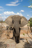 Großer Elefant stockbilder