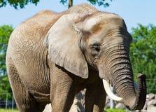 Großer Elefant, der einen sonnigen Tag genießt Lizenzfreies Stockbild