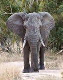 Großer Elefant, der entlang einer Straße approacing ist Lizenzfreie Stockfotografie