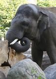 Großer Elefant mit den Stoßzähnen kopf Stockbild