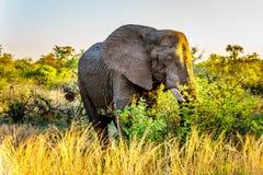 Großer Elefant Stier bei Sonnenuntergang in Nationalpark Kruger lizenzfreies stockfoto