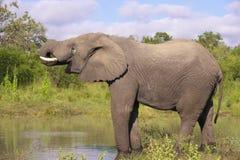 Großer Elefantstier Stockfoto