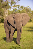 Großer Elefantstier Lizenzfreies Stockfoto