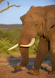 Großer Elefantstier in der Savanne Lizenzfreie Stockfotos