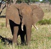 Großer Elefantstier, der seine Ohren, Ostafrika Schlag ist stockbild