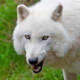 Großer erwachsener arktischer Wolf Stockbild