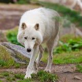 Großer erwachsener arktischer Wolf Stockfotos