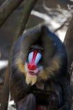 Großer erwachsener Mandrill-Affe mit großem Farbton Lizenzfreie Stockbilder