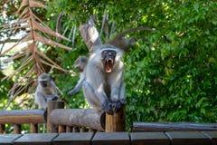 Großer erwachsener Mann-vervet Affe, der Zähne gähnt und zeigt lizenzfreie stockbilder