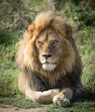 Großer erwachsener Mannlöwe, Serengeti, Tansania Lizenzfreies Stockbild