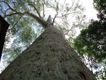 Großer Eukalyptusbaum, Uttaradit, Thailand lizenzfreie stockbilder